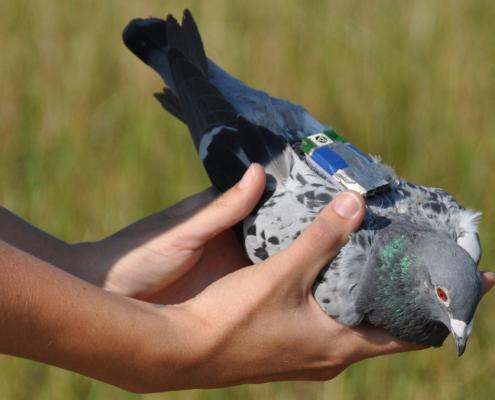 GPS Data Logger (Pigeon)